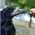 corbeau lazare