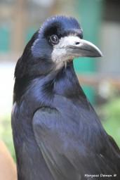 protection des corbeaux
