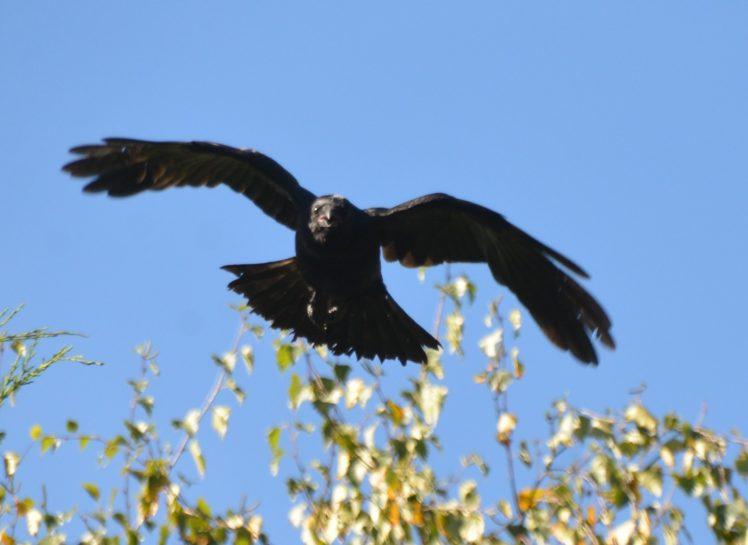 oiseau-corneille-vole